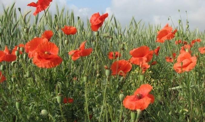 pole, mák, polní květiny