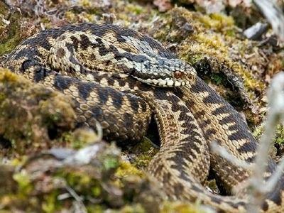 Zmije,had,plaz,jed,příroda