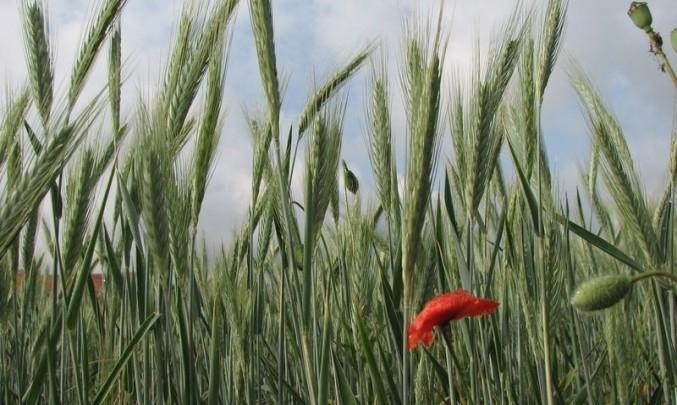 pole, obilí