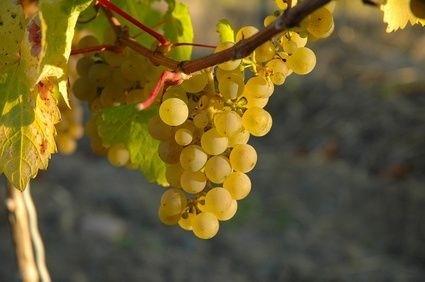vino_hroznen