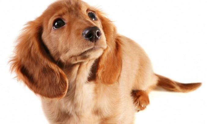 Pes,jezevčík- z HPV