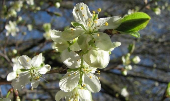 třešeň, jaro, alergie, květ