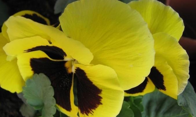 květ,květina, fialová, alergie, pyl, flora
