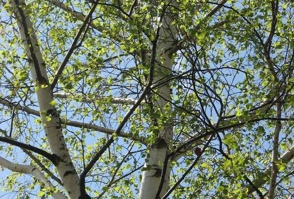 bříza, strom, příroda, alergie