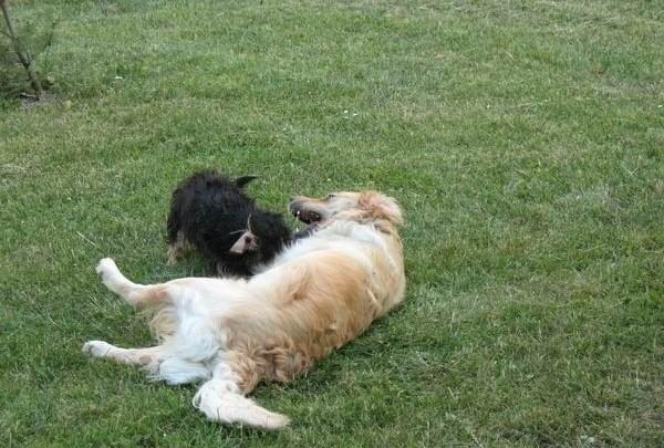psi, pes, tráva, hra