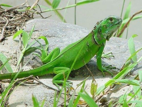 jester iguana