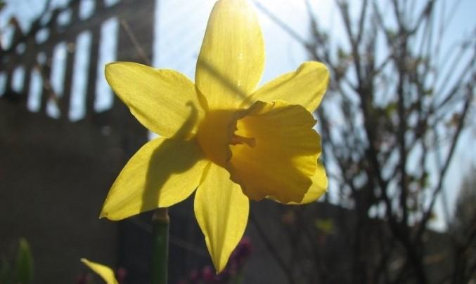 žlutá,květina, petrklíč, žlutá, alergie, alergen,jaro, flora