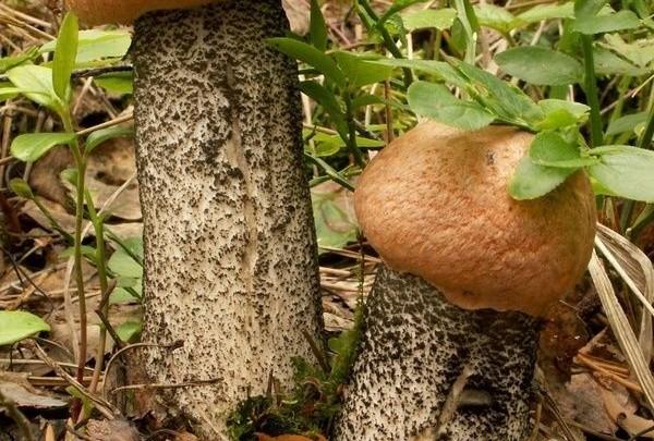 kozák, houby, velikost penisu, podzim, příroda