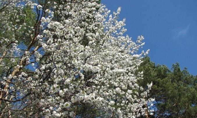 strom, květ, jaro, alergie,a lergen