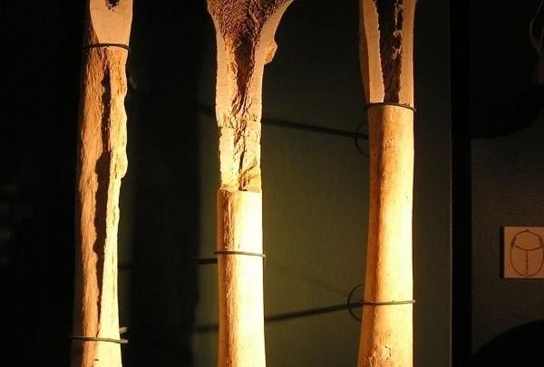 skelet, kostra, kost, opěrná soustava