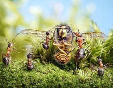 mravenci a mrtvý sršeň