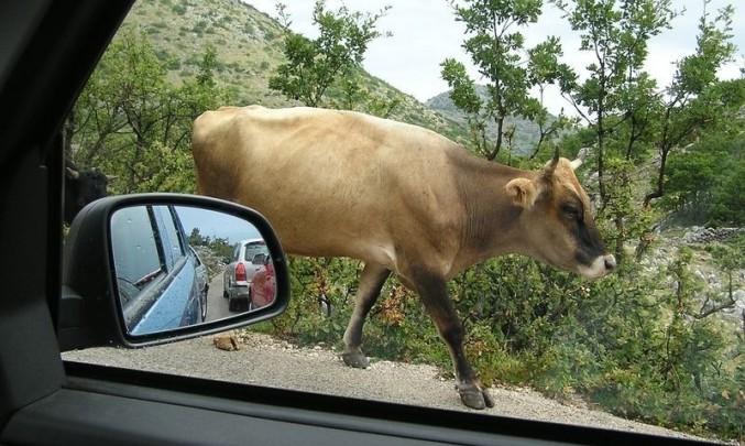 kráva, auto