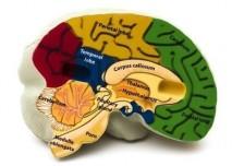 Model mozku