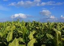 tabak_rostlina