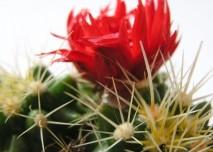 zelená, kaktus, osten, květ