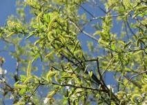 jehnědy, bříza, jaro, pyl