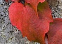 červený list břečťanu