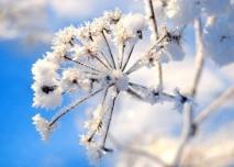 zmrzlý květ