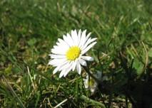 bílá,květina,alergie, pyl, květ, příroda, flora, tráva, louka