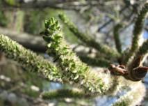 pylová alergie, jehnědy, bříza, jaro, alergen