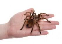 pavouk sklípkan
