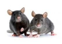 dvě krysy