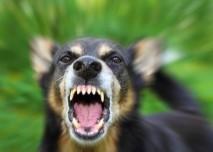 pes, vzteklina