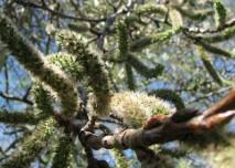 alergen, jehnědy, bříza, pyl
