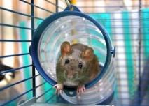 Cvičená krysa