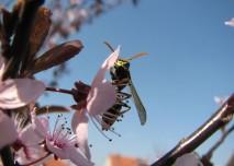 třešeń,květ,alergie,alergen, pyl