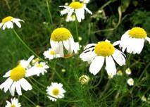 heřmánek, květ, léčivka,bylina