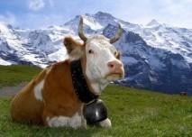 krava,mleka,alpy,hory,příroda,skot