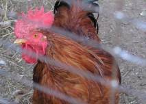 kur, pták, slepice, ptačí chřipka