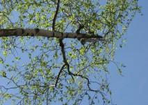 bříza, strom, listí, příroda