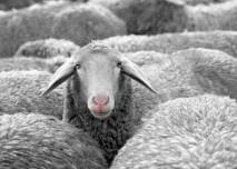 Ovce,počítání oveček