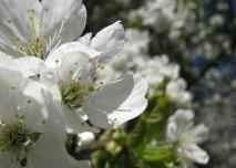 třešeň, květ, jaro, alergie, alergen