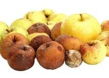 Plesnivá jablka